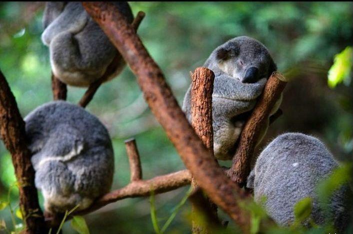 Buntalan koala