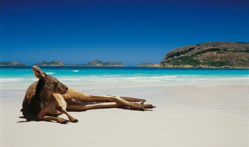 Kangaroo berjemur, Australia