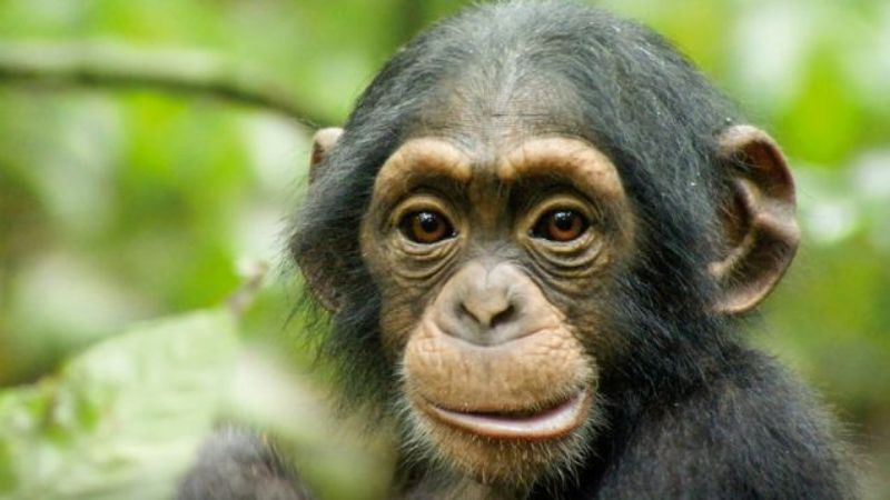 Simpanse = sepupu manusia?