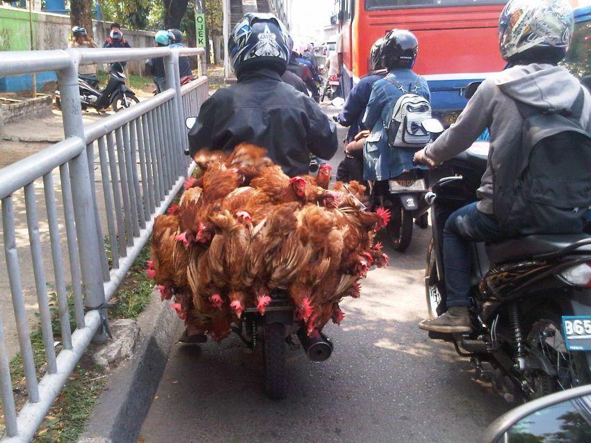 Motor bebek bawa ayam