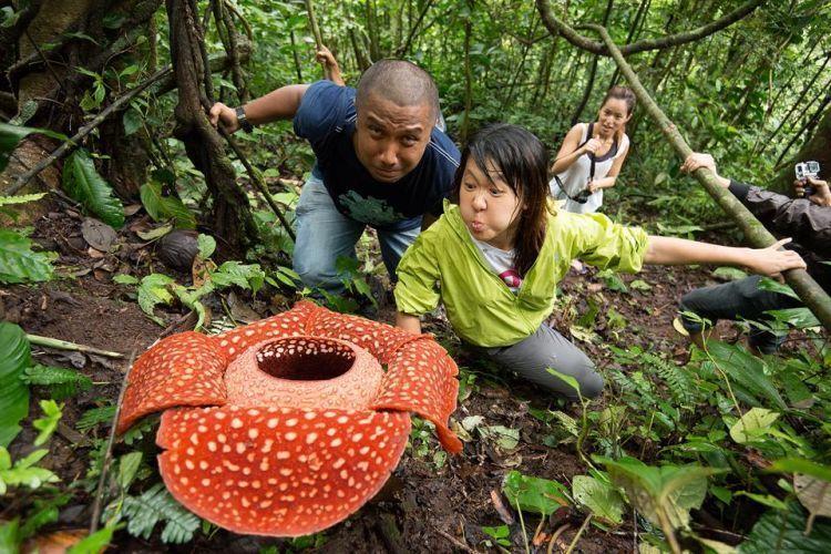 Mencium aroma bunga Rafflesia arnoldi di Batang Palupuh