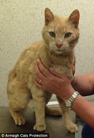 29B9FEE600000578-3129297-Traveller_Ginger_cat_named_Ozzie_by_his_rescuers_was_found_wande-a-1_1434711423392