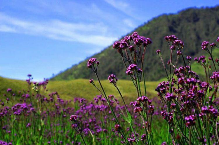 Padang lavender di Oro-oro Ombo