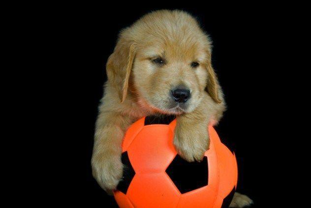 anjing pecinta sepak bola
