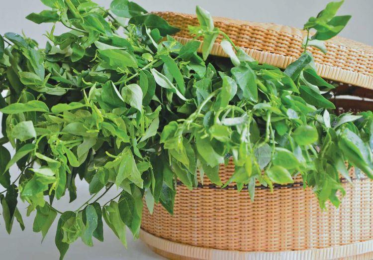 daun katuk, campuran utama jamu gepyokan