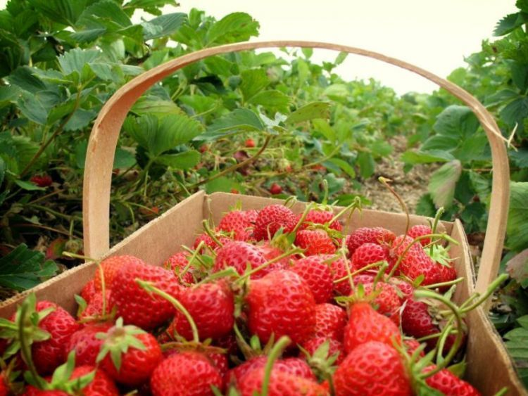 Nikmati sensasi panen strawberry