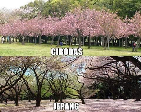 Bunga Sakura Cibodas