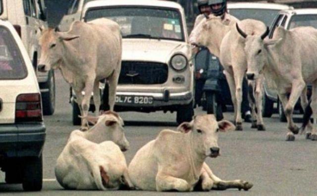 sapi menjadi salah satu wujud dewa