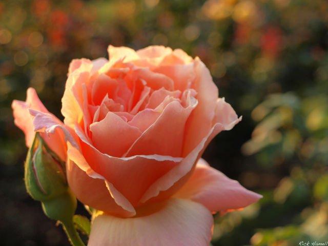 Arti dan Makna Dari Bunga Mawar Peach