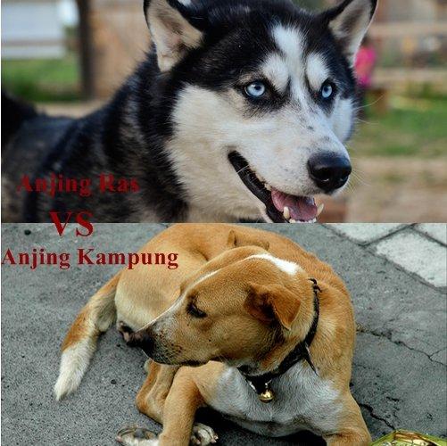 anjing ras vs anjing kampung