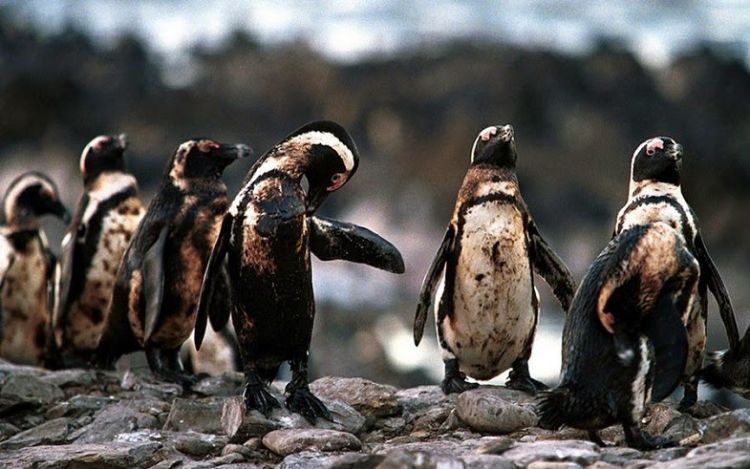 Pinguin.