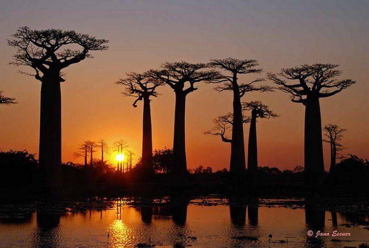 Senja di hutan Baobab...