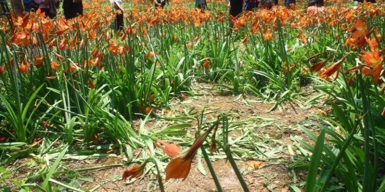 hamparan bunga amaryllis rusak terinjak-injak pengunjung