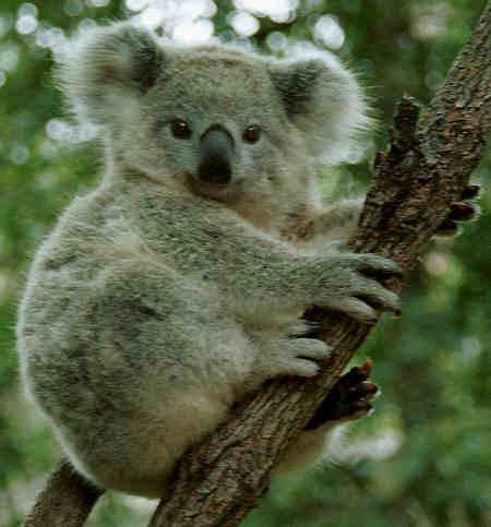 Likes Koala