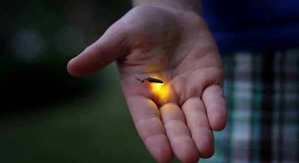 Kunang-kunang dari kuku orang mati