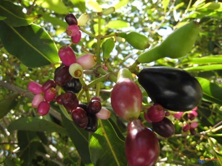 jamblang, obat herbal pencegah beser