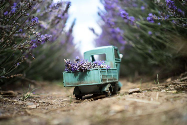 yang nggak tahu pasti ngira lavendernya yang raksasa