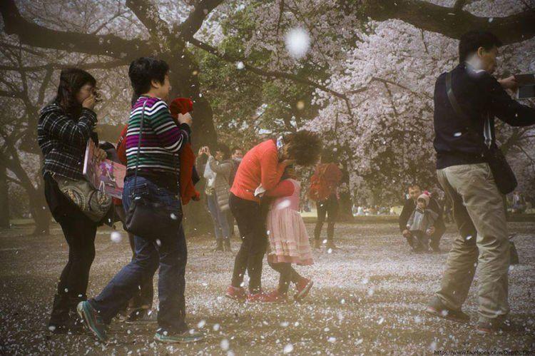 sakura dan salju yang turun barengan