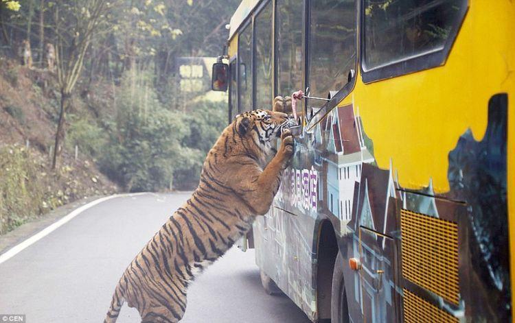 Bisa kok ngasi makan si macan