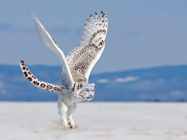 Burung hantu - Macan Tutul Salju =- Butumatulju (?)