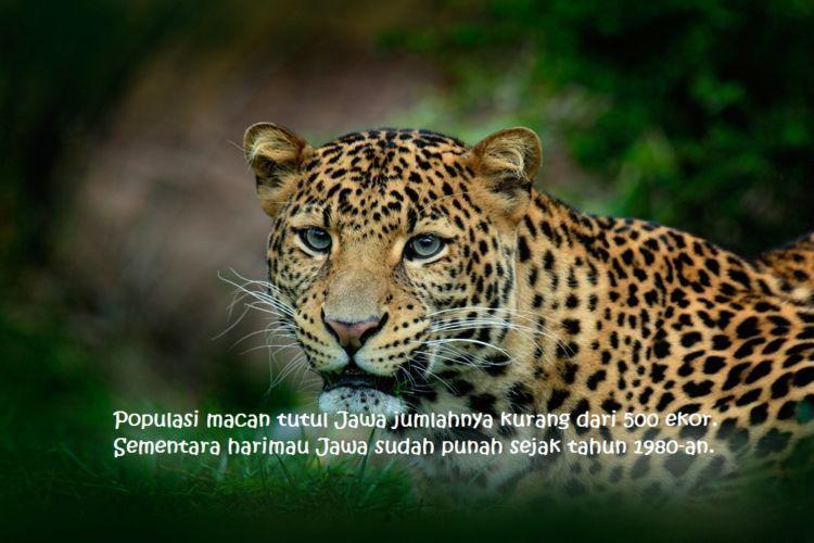 Semoga berkurangnya populasi macan tutul ini jadi keprihatinan semua pihak ya..