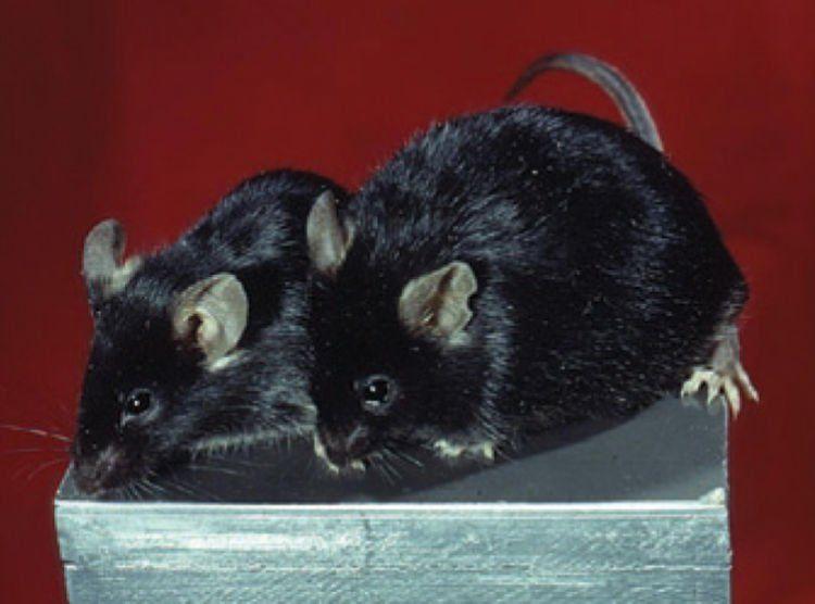 Selama ini paeabiosis berhasil pada tikus