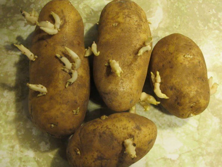 kentang yang hijau dan bertunas