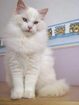 telinga kucing anggora