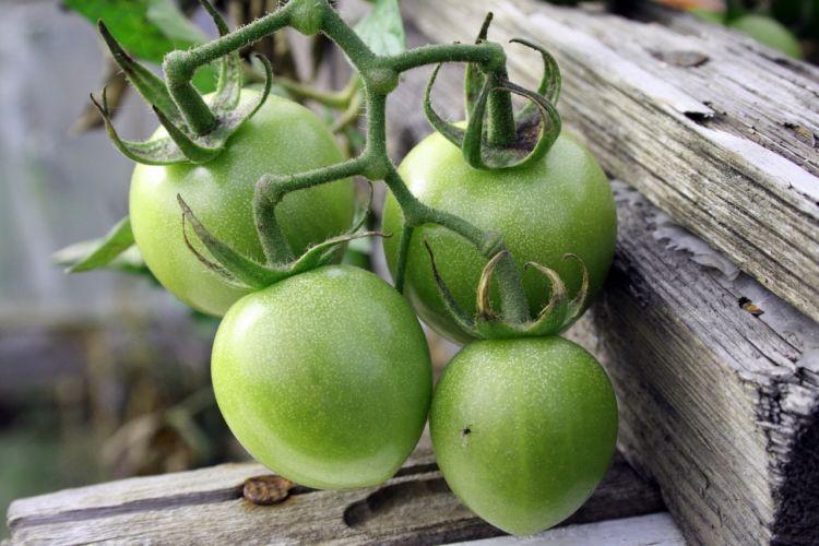 tomat muda