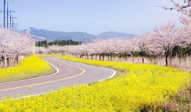 Cherry Blossom di Jeju