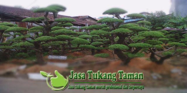 Taman pohon cemara udang