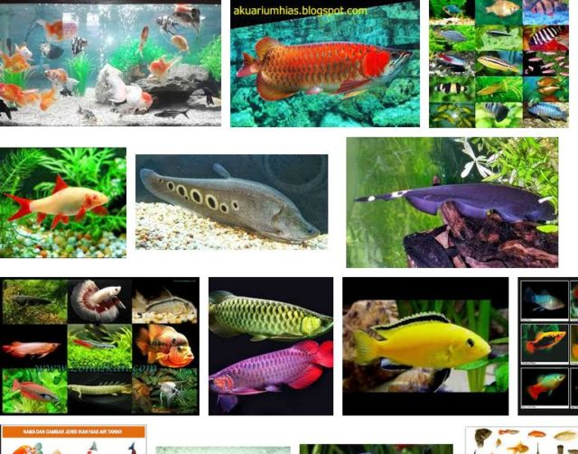 Jenis Ikan Hias Air Tawar Aquarium