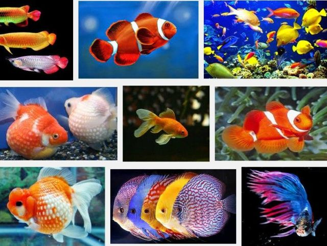 Jenis Ikan Hias