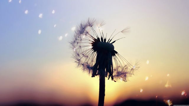 Dandelion-Flowers-in-Sunset-Beautiful-View
