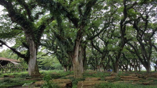 deretan pohon yang megah di Jawatan Benculuk