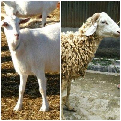 Jenis kambing di Indonesia