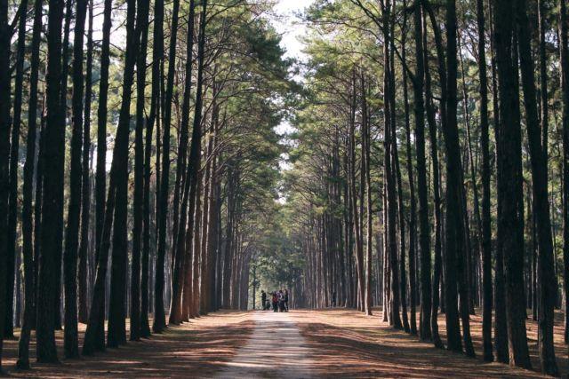 Hutan pinus, sejuk dan menenangkan
