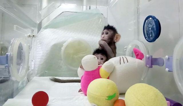 Pertama di Dunia, Ilmuwan Cina Sukses Kloning Monyet. Sains ... Hipwee640 × 369Search by image Dua monyet hasil kloning ini dilahirkan dari pengembangan teknik yang paling mutakhir