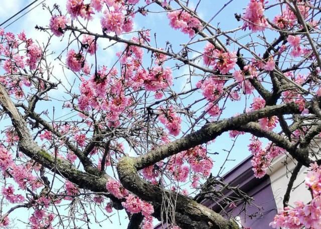 Sakura London