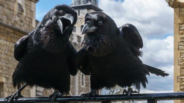 Menjaga burung gagak di Tower of London